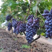 出售防冻葡萄苗、出售防冻葡萄树供应贝达葡萄苗供应酿酒葡萄苗图片