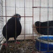 种鸽养殖的季节你还在等什么想赚钱就养殖肉鸽