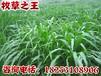 优质牧草种子优质牧草种苗进口墨西哥玉米草种子