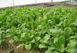 保健套餐营养蔬菜种子芝麻菜种苗