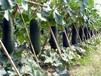 优质杂交冬瓜种子特大黑皮冬瓜种子