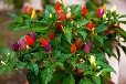 特菜种子观赏椒种子价格优惠质量保证