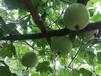 石家庄香芋冬瓜种子供应商