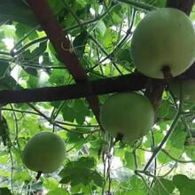 黃岡香芋冬瓜種子圖片