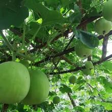 紹興香芋冬瓜種子批發價格圖片