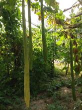 襄阳2米丝瓜种子价格图片