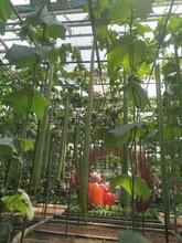 菏泽4米丝瓜种子批发价格图片