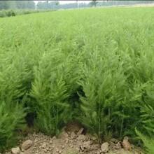 濟寧蘆筍種苗圖片