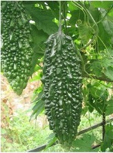 榆林黑苦瓜种子种植场图片
