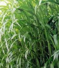 九江牧草种子供应商图片