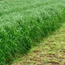 天津出售牧草种子图片