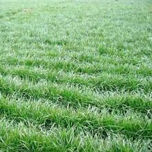 鶴崗牧草種子價格圖片