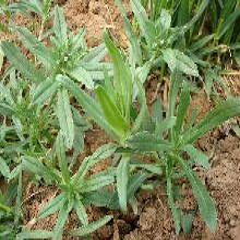 婁底野菜種子種植圖片