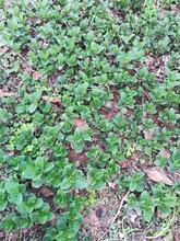 扬州优质野菜种子图片