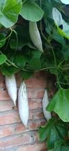 三門峽優質變色瓜種子價格圖片