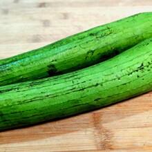 黑河2米丝瓜种子种植图片