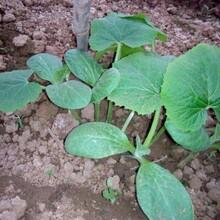 无锡供应香芋冬瓜种子供应商图片