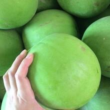 郴州香芋冬瓜种子批发价格图片