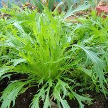 蘇州芝麻菜種子基地直供圖片