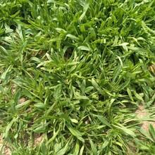 海口面条菜种子图片
