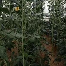 赤峰特长豆角种子批发价格图片