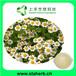 物优价廉洋甘菊提取物;芹菜素0.3%-98%