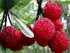 物优价廉杨梅皮提取物;杨梅素80%-98%