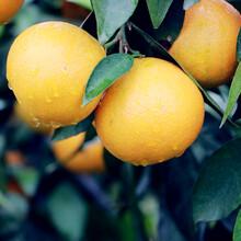 长寿柑--产自长寿之乡湖北·钟祥,长寿园旗下品牌