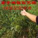 泰安鸿程苗木基地低价销售花椒苗,种植基地低价销售