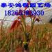 大棚矮化香椿苗低价供应鸿程苗木基地专供红叶香椿苗