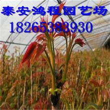 大棚矮化香椿苗低价供应鸿程苗木基地专供红叶香椿苗图片