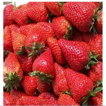 苗圃低价专供优质草莓苗,保证成活率高,适应性强!错一赔十
