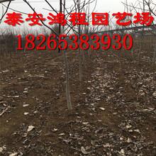 供应一公分以上嫁接清香薄皮核桃苗8518早实核桃价格果农自产自销低价供应