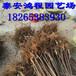 1公分以上吉塞拉矮化砧木樱桃苗价格高成活率价格公道基地直销