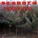 一公分以上高产甜桃树苗品种高产高成活率市场热销甜桃苗
