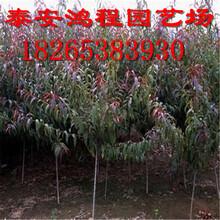 鸿程苗木基地常年专供各类规格核桃苗8518早实核桃苗种植基地优惠价格图片