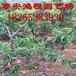 低价供应各类油桃,毛桃品种,保证品种,成活率,山东果农低价销售