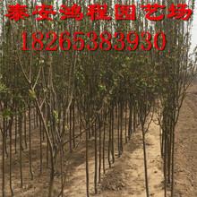 西府海棠苗鸿程苗木基地专供全网最低价海棠苗自产自销价格公道图片