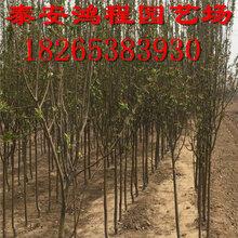 北美海棠种植基地常年亲民价格供应各类品种北美海棠苗价格实惠图片
