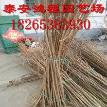紫薇苗基地专业培育紫薇苗低价批发价格公道合理常年供应图片