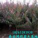 苗圃自产自销优质桃树苗各类规格,保证成活率高,保证品种