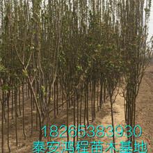 绿化专用北美海棠苗北美海棠种植基地专供价格美丽图片