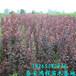 低价供应优质紫叶李树苗,保证成活率,保证品种