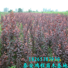 两公分绿化专用紫叶李树高度1米以上高成活率紫叶李树苗苗圃培育价格合理图片