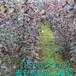 种植基地低价供应优质红叶李树苗,保证成活率,保证品种