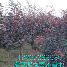 一公分以上绿化树红叶李树苗批发泰安鸿程绿化苗木基地低价供应图片