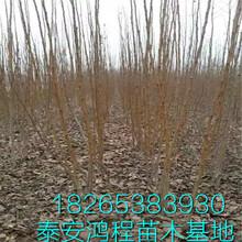 珍珠油杏鸿程杏树苗种植基地抗旱早熟杏树苗杏树苗品种大全图片