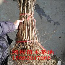 软籽石榴苗价格嫁接石榴苗基地直销一公分石榴苗报价苗木基地自产自销图片