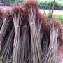 江西吉安高成活香椿苗适合南方种植香椿苗苗圃图片