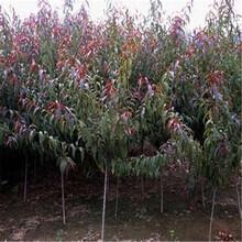 浙江莲都区鸿程苗圃新鲜直达四公分桃树苗图片